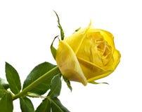 O amarelo levantou-se no fundo isolado branco Fotografia de Stock Royalty Free