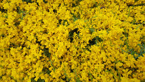 O amarelo pequeno floresce o fundo Fotos de Stock Royalty Free