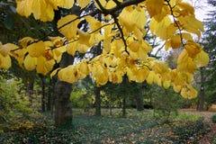 O amarelo sae em uma árvore de Linden do outono da árvore, jardim botânico, Reino Unido Fotografia de Stock Royalty Free