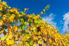 O amarelo sae em uma vinha no vale de Yarra, Austrália Imagem de Stock