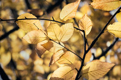 O amarelo sae na queda em um ramo de árvore imagem de stock