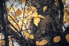 O amarelo sae na queda em um ramo de árvore foto de stock royalty free