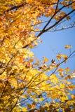 O amarelo sae na queda em um ramo de árvore contra um céu azul fotos de stock