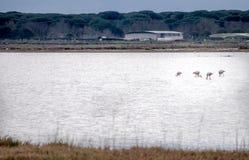 O ambiente de flamingos cor-de-rosa Fotos de Stock Royalty Free