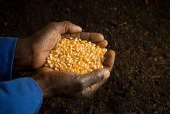 O americano africano entrega sementes da terra arrendada Imagens de Stock