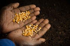 O americano africano entrega sementes da terra arrendada Imagem de Stock Royalty Free