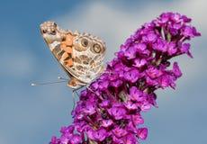 O americano bonito pintou a borboleta da senhora que alimenta em uma flor roxa do Buddleia Imagens de Stock