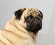 O amigo da família um cão favorito Imagens de Stock Royalty Free