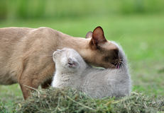 O amor é - sira de mãe ao gato que limpa seu gatinho do bebê Imagens de Stock