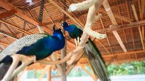 O amor do pavão fotografia de stock