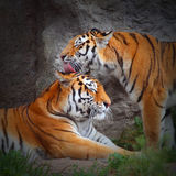 O amor do tigre. Fotos de Stock Royalty Free