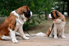 O amor dos cães Fotografia de Stock