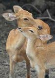 O amor dos cervos Imagem de Stock