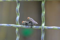 O amor entre insetos, moscas tem o divertimento Foto de Stock