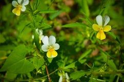 O amor perfeito floresce a viola tricolor no jardim Foto de Stock