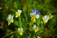 O amor perfeito floresce a viola tricolor no jardim Fotos de Stock
