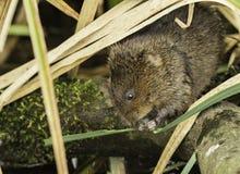 O amphibus europeu do Arvicola do rato de água é um roedor semi-aquático imagens de stock royalty free