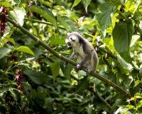 O anel do bebê atou o lêmure que senta-se em um ramo de árvore foto de stock