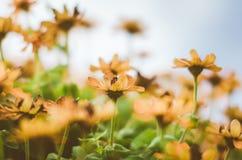O angustifolia do Zinnia floresce o vintage Fotografia de Stock Royalty Free