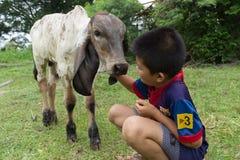 O animal de estimação do menino a vitela Imagens de Stock Royalty Free