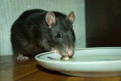 O animal de estimação do rato bebe o leite de uns pires Foto de Stock