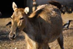 O animal no jardim zoológico de Moscou Fotografia de Stock