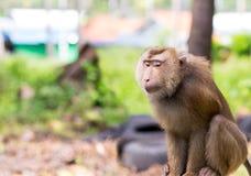 O animal tropical de cauda longa dos fascisculis do Macaca com um olhar astuto senta em antecipação a um projeto do projeto da ba foto de stock