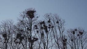 O aninhamento das gralhas alto acima na mola das árvores, do canto e do voo - ninho da gralha - está aqui vídeos de arquivo