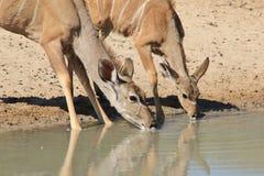 O antílope de Kudu - animais selvagens africanos - a parte animal das mamãs e de bebês molha Fotografia de Stock