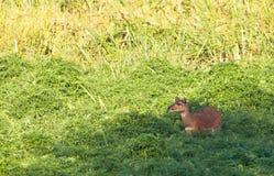 O antílope raro de Sitatunga fotos de stock