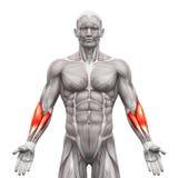 O antebraço Muscles - os músculos da anatomia isolados no branco - o illustr 3D Foto de Stock