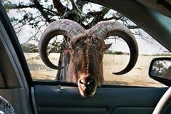 O Aoudad olha no carro Fotos de Stock Royalty Free
