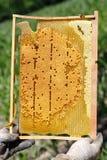 O apicultor está guardando o quadro com o favo de mel em suas mãos Imagem de Stock