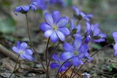 o apse Primrose λουλούδια Μπλε όμορφα λουλούδια στοκ φωτογραφία