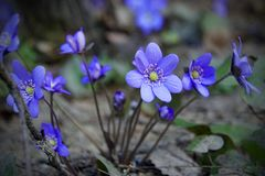 o apse Primrose λουλούδια Μπλε όμορφα λουλούδια στοκ εικόνα με δικαίωμα ελεύθερης χρήσης