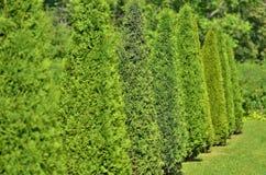 O arborvitae verde plantou em seguido e aparou Foto de Stock Royalty Free