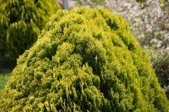 O arbusto é bonito verde fotografia de stock