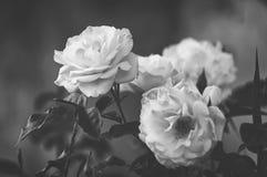 O arbusto bonito floresce, as rosas brancas do jardim na cor preto e branco em um fundo escuro Estilo gótico fotografia de stock