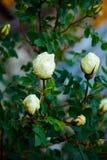 O arbusto branco aumentou Fotos de Stock Royalty Free