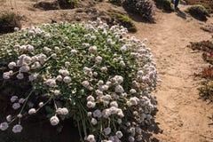O arbusto com flores brancas Imagens de Stock