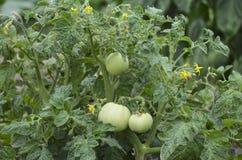 O arbusto com os tomates verdes no jardim Fotografia de Stock
