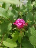 O arbusto cor-de-rosa aumentou fotografia de stock