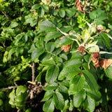 O arbusto cor-de-rosa selvagem com flores secadas e frutos novos pelo contrário fotografia de stock royalty free