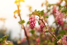 O arbusto da flor da cor do rosa do Sweety, flor bonita fresca graden dentro foto de stock royalty free