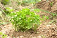 O arbusto da salsa cresce ascendente próximo Imagem de Stock Royalty Free