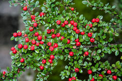 O arbusto de bagas vermelhas Fotos de Stock Royalty Free