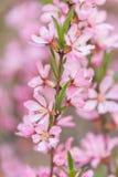 O arbusto de florescência da mola com as flores da cor cor-de-rosa Florescência sazonal abundante fotos de stock royalty free