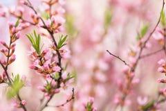 O arbusto de floresc?ncia da mola com as flores da cor cor-de-rosa Floresc?ncia sazonal abundante fotos de stock