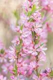 O arbusto de floresc?ncia da mola com as flores da cor cor-de-rosa Floresc?ncia sazonal abundante imagem de stock