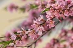 O arbusto de floresc?ncia da mola com as flores da cor cor-de-rosa Floresc?ncia sazonal abundante fotos de stock royalty free